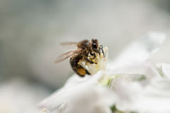 Bee collecting pollen from apple blossom Royalty Free Stock Image