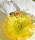 Bee Collecting Pollen. From a beautiful flower Stock Photos
