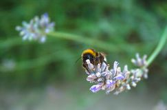 Bee collecting pollen in beautiful purple flowers royalty free stock photos