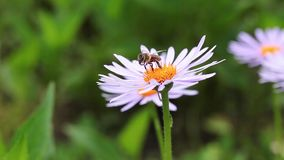 Bee collecting pollen Bee on a beautiful pink flowers is looking for pollen stock video footage