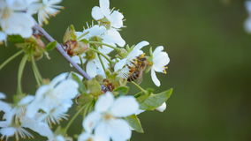 Bee collecting pollen from the blooming apple tree in springtime stock video