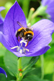Bee collecting pollen on a blue flower Stock Photos