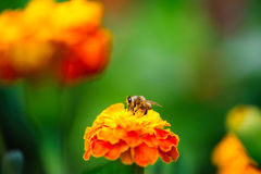 Bee collecting pollen from calendula flower Royalty Free Stock Photography