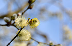 Bee collecting pollen from catkins Royalty Free Stock Photos