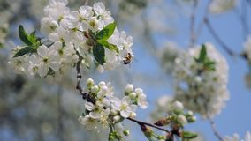 Bee collecting pollen on cherry blossom stock footage