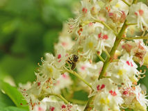 Bee collecting pollen from chestnut blossoms Royalty Free Stock Photo