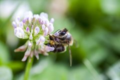 Bee collecting pollen on a clover flower royalty free stock image