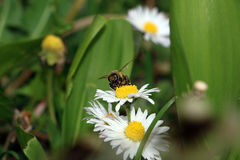 Bee is collecting pollen from daisy flower Stock Photo