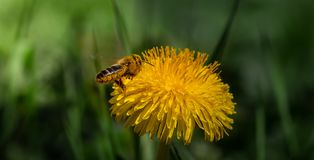 Bee collecting pollen from a dandelion flower stock image