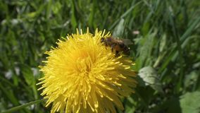Bee is collecting the pollen on dandelion flowers, slow motion. Closeup stock video