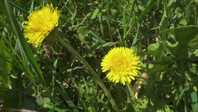Bee is collecting the pollen on dandelion flowers stock footage