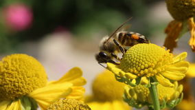 Bee collecting pollen on flower stock footage