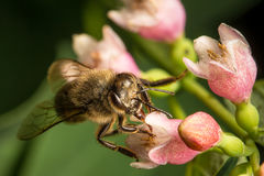 Bee collecting pollen from flower Stock Image