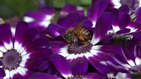 Bee collecting pollen from flower stock footage