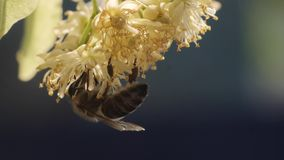 Bee collecting pollen from a flower of the tree. Honey bee in Linden Flowers. Closeup of bee collecting nectar, honey. Slow motion macro footage of beautiful stock video