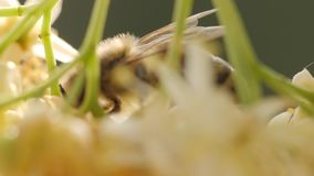 Bee collecting pollen from a flower of the tree. Honey bee in Linden Flowers. Closeup of bee collecting nectar, honey. Slow motion macro footage of beautiful stock video footage