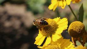 Bee collecting pollen on flower stock video