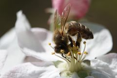 Bee collecting pollen from flowers of apple Royalty Free Stock Images