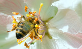 Bee collecting pollen from flowers Stock Photo