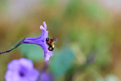Bee collecting pollen from flowers Stock Photography
