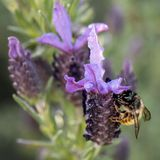 Bee collecting pollen from French Lavender, Macro stock image