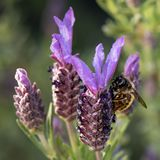 Bee collecting pollen from French Lavender, Macro stock photos