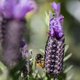 Bee collecting pollen from French Lavender, Macro stock photography