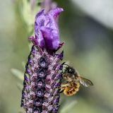 Bee collecting pollen from French Lavender, Macro royalty free stock image