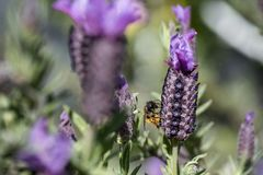 Bee collecting pollen from French Lavender, Macro royalty free stock images