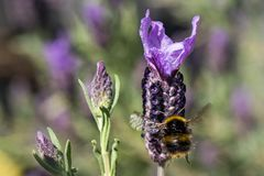 Bee collecting pollen from French Lavender, Macro royalty free stock photos
