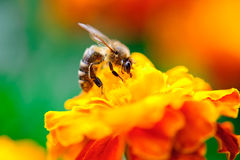 Free Bee Collecting Pollen From Calendula Flower Stock Photography - 25780932