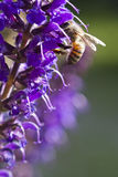 Bee Collecting Pollen. A bee collecting honey from a purple flower Royalty Free Stock Images