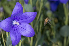 Bee collecting pollen inside a flower Royalty Free Stock Photo