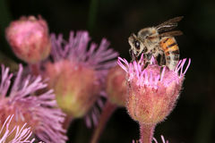 Bee. Collecting pollen from an invader pompom weed flower Stock Images