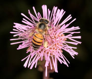 Bee. Collecting pollen from an invader pompom weed flower Stock Photography
