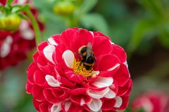 Bee collecting pollen on a large red and white Dahlia flower. Bloom royalty free stock image
