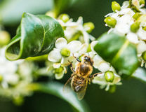 Bee collecting pollen Royalty Free Stock Photography