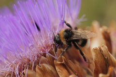 Bee collecting pollen Stock Image