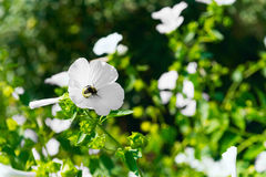 Bee collecting pollen and nectar. For honey in flower white garden flowers Annual mallow Lavatera trimestris, other name Rose Mallow, Royal Mallow and Regal Stock Photography