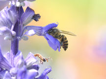 Bee collecting pollen and nectar from a purple flower. In morning Stock Photos