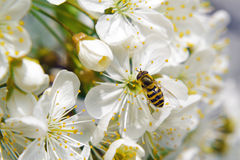 Bee collecting pollen from pear blossom Stock Photo