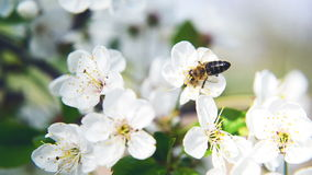 Bee collecting pollen from pear blossom Royalty Free Stock Photos