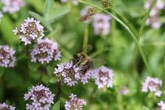 Bee collecting pollen. Photography of Honey bee collecting pollen royalty free stock photos