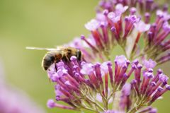 Bee collecting pollen from a pink flower. 