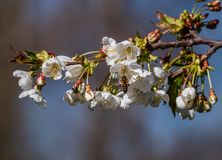 Bee collecting pollen from a plum blossom on a sunny day stock image