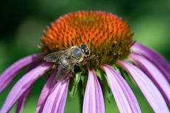 Bee collecting pollen on purple echinacea flower. Close-up royalty free stock photos