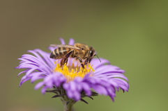 Bee collecting pollen from purple flower Royalty Free Stock Photo