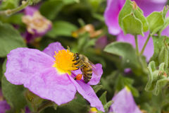 Bee collecting pollen from a rock rose Stock Image