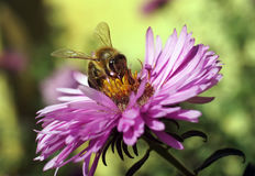 Bee collecting pollen Royalty Free Stock Photo