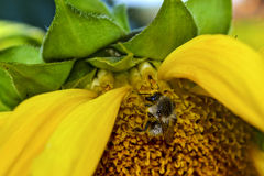A bee collecting pollen from a sunflower. Macro photo of a bee collecting sunflower`s pollen. Royalty Free Stock Image